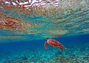 Green Sea Turtle in Grand Cayman