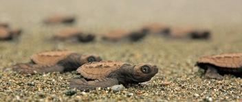 Olive Ridley Sea Turtle in Costa Rica