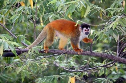 Squirrel Monkey in Costa Rica